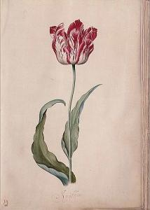 tulip-jpglarge1