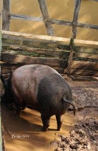 Pig sgnd.