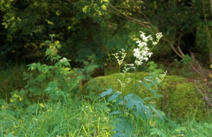 Meadowsweet, ArtHenning
